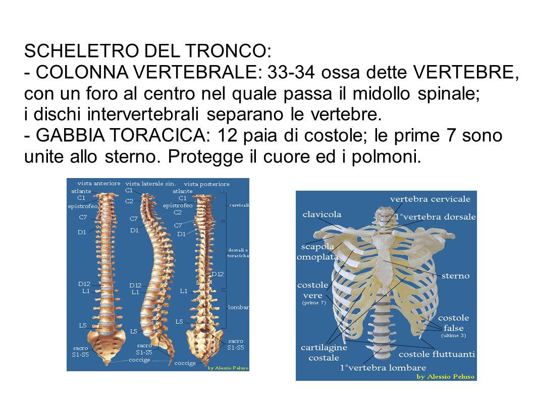 SCHELETRO DEL TRONCO: - COLONNA VERTEBRALE: 33-34 ossa dette VERTEBRE, con un foro al centro nel quale passa il midollo spinale; i dischi intervertebrali separano le vertebre.