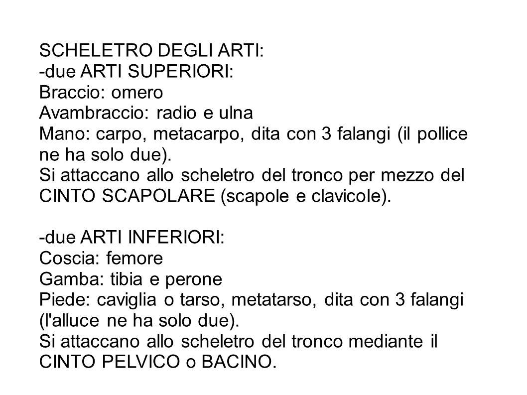 SCHELETRO DEGLI ARTI: -due ARTI SUPERIORI: Braccio: omero Avambraccio: radio e ulna Mano: carpo, metacarpo, dita con 3 falangi (il pollice ne ha solo due).
