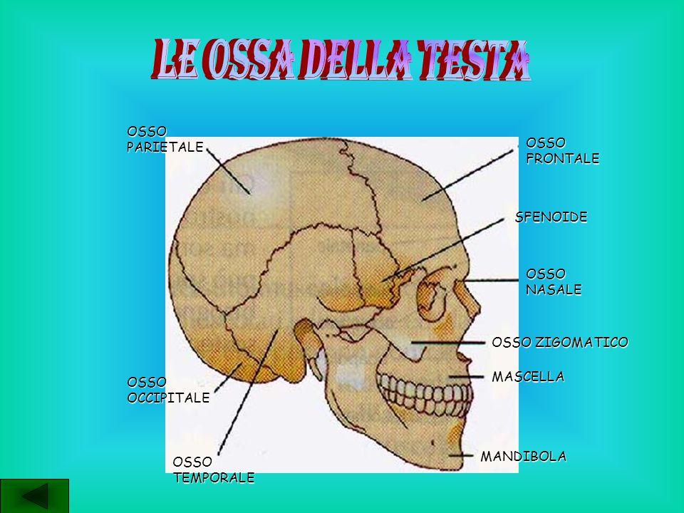 LE ANOMALIE DELLE OSSA SONO: CIFOSI DORSALE: a livello della schiena, con curvatura posteriore LORDOSI CERVICALE: a livello del collo, con curvatura posteriore LORDOSI LOMBARE: a livello dei fianchi, con curvatura posteriore SCOLIOSI: deviazione della colonna vertebrale a destra o a sinistra del proprio asse