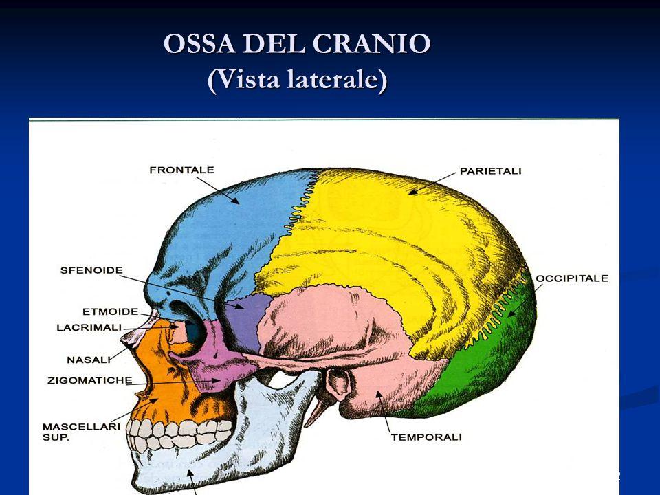 12 OSSA DEL CRANIO (Vista laterale)