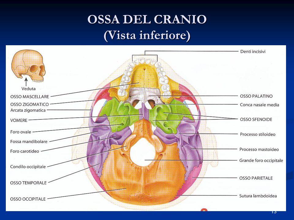 13 OSSA DEL CRANIO (Vista inferiore)
