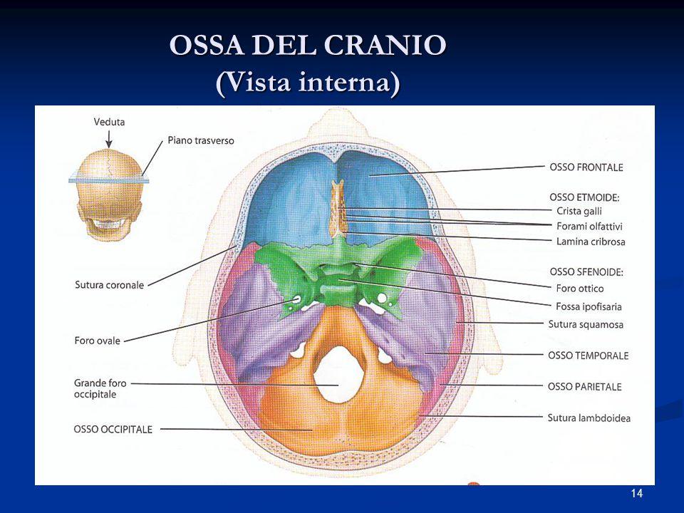 14 OSSA DEL CRANIO (Vista interna)
