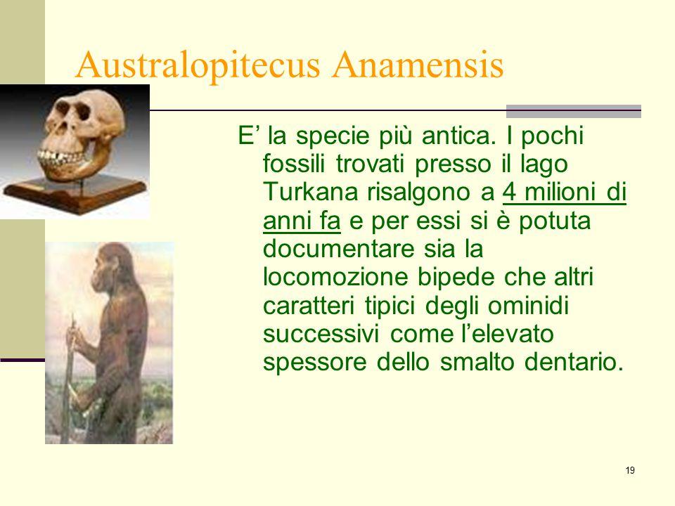19 Australopitecus Anamensis E' la specie più antica. I pochi fossili trovati presso il lago Turkana risalgono a 4 milioni di anni fa e per essi si è
