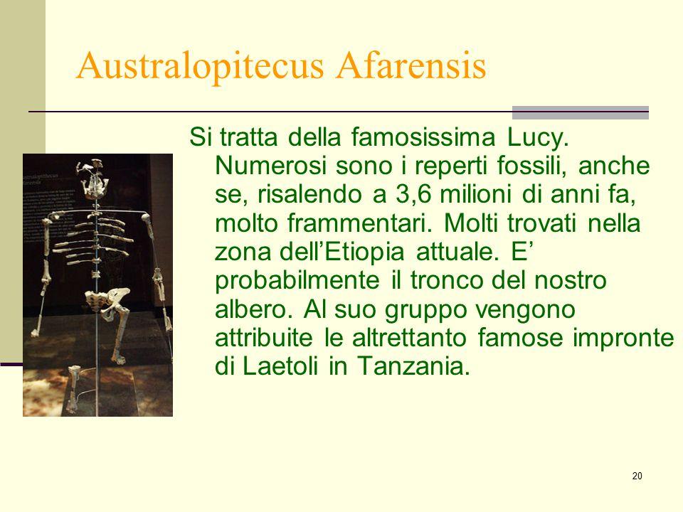 20 Australopitecus Afarensis Si tratta della famosissima Lucy. Numerosi sono i reperti fossili, anche se, risalendo a 3,6 milioni di anni fa, molto fr