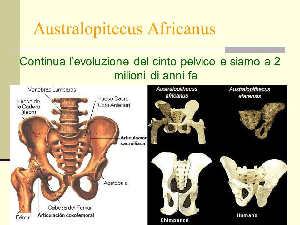 23 Australopitecus Africanus Continua l'evoluzione del cinto pelvico e siamo a 2 milioni di anni fa