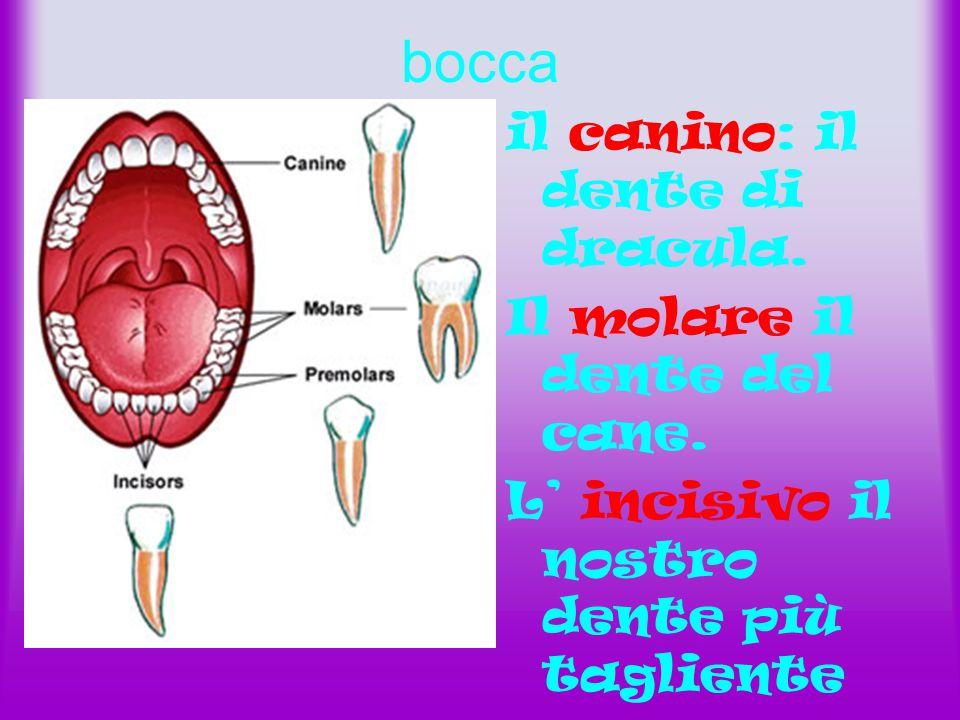 bocca il canino: il dente di dracula.Il molare il dente del cane.