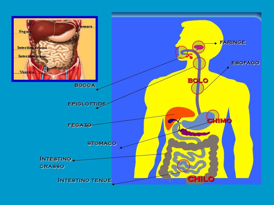 bocca epiglottide fegato stomaco esofago Intestino crasso Intestino tenue faringe bolo chimo chilo