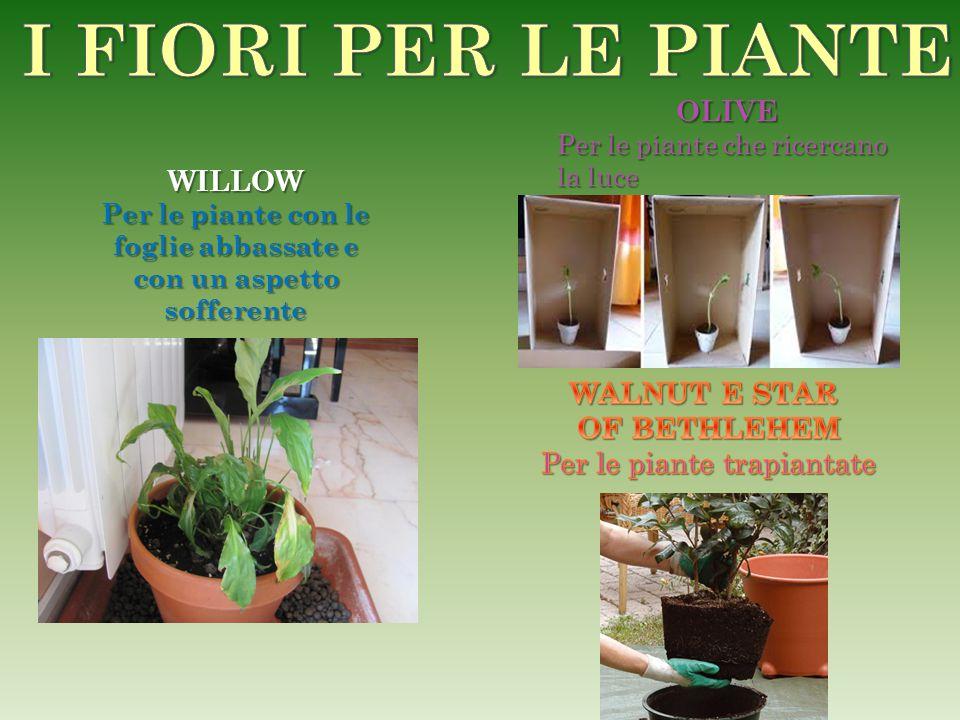 WILLOW Per le piante con le foglie abbassate e con un aspetto sofferente OLIVE Per le piante che ricercano la luce