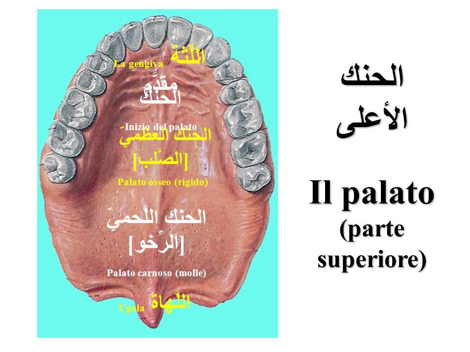الحنك اللَّحميّ [ الرِّخو ] Palato carnoso (molle) اللَّهاة Ugola الحنك العظميّ [ الصَّلب ] Palato osseo (rigido) مقدَّم الحنك Inizio del palato اللِّ