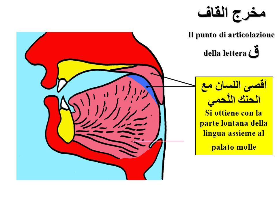 مخرج القاف Il punto di articolazione della lettera ق أقصى اللسان مع الحنك اللَّحمي Si ottiene con la parte lontana della lingua assieme al palato moll