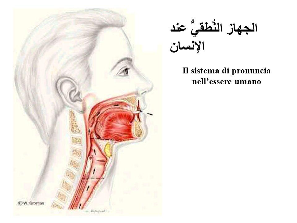 الجهاز النُّطقيُّ عند الإنسان Il sistema di pronuncia nell'essere umano