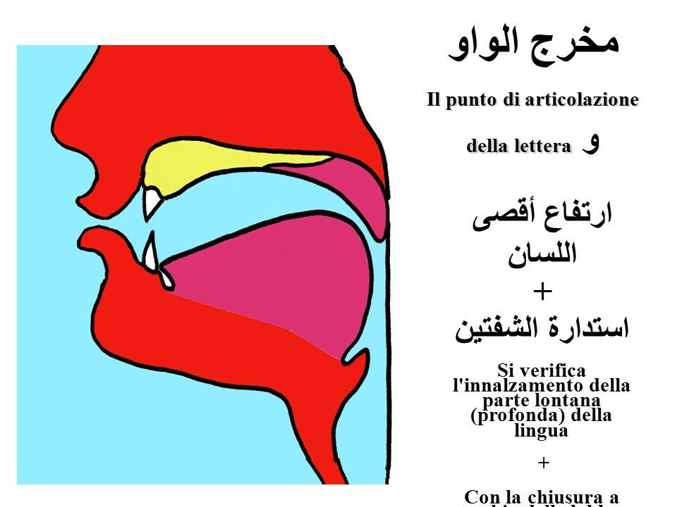 مخرج الواو Il punto di articolazione della lettera della lettera و ارتفاع أقصى اللسان + استدارة الشفتين Si verifica l'innalzamento della parte lontana