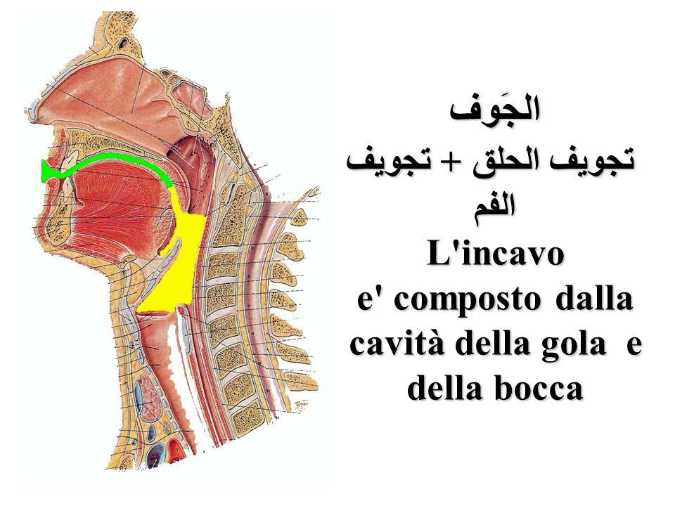 الجَوف تجويف الحلق + تجويف الفم L'incavo e' composto dalla cavità della gola e della bocca