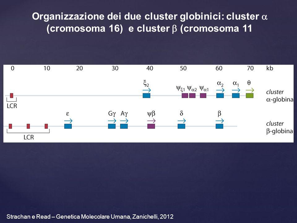Strachan e Read – Genetica Molecolare Umana, Zanichelli, 2012 Organizzazione dei due cluster globinici: cluster  (cromosoma 16) e cluster  (cromosoma 11