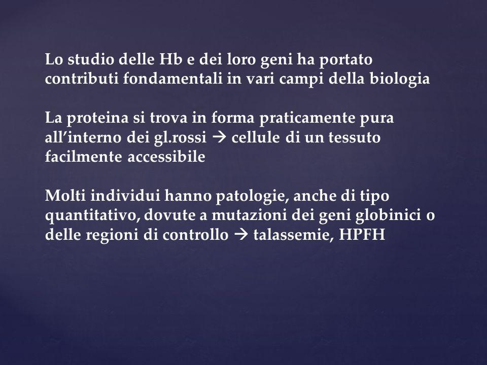 Lo studio delle Hb e dei loro geni ha portato contributi fondamentali in vari campi della biologia La proteina si trova in forma praticamente pura all'interno dei gl.rossi  cellule di un tessuto facilmente accessibile Molti individui hanno patologie, anche di tipo quantitativo, dovute a mutazioni dei geni globinici o delle regioni di controllo  talassemie, HPFH