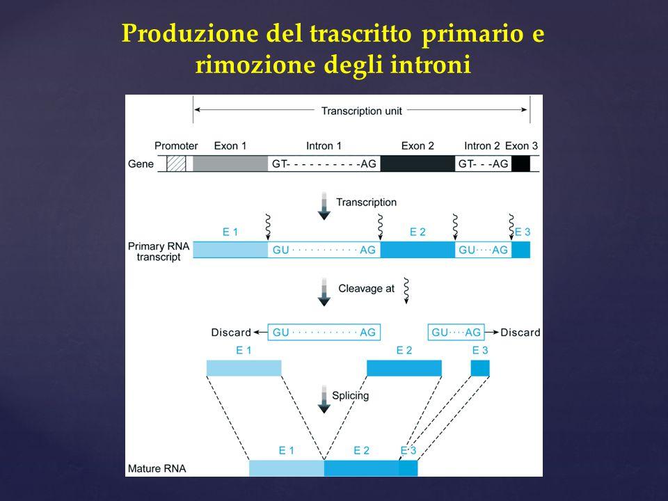 Produzione del trascritto primario e rimozione degli introni