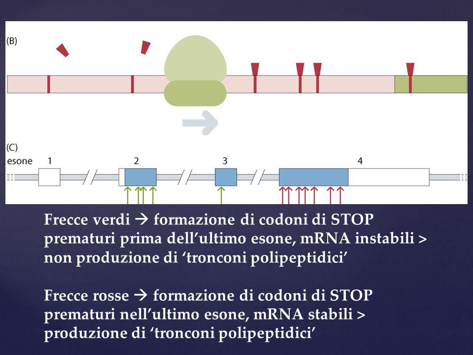 Frecce verdi  formazione di codoni di STOP prematuri prima dell'ultimo esone, mRNA instabili > non produzione di 'tronconi polipeptidici' Frecce rosse  formazione di codoni di STOP prematuri nell'ultimo esone, mRNA stabili > produzione di 'tronconi polipeptidici'