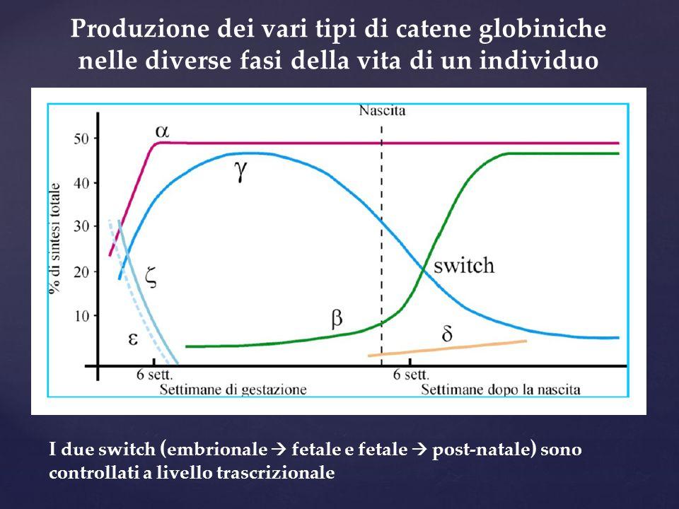 Produzione dei vari tipi di catene globiniche nelle diverse fasi della vita di un individuo I due switch ( embrionale  fetale e fetale  post-natale ) sono controllati a livello trascrizionale