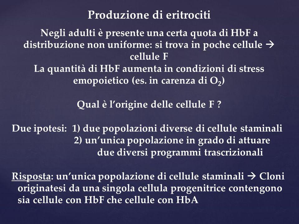 Produzione di eritrociti Negli adulti è presente una certa quota di HbF a distribuzione non uniforme: si trova in poche cellule  cellule F La quantità di HbF aumenta in condizioni di stress emopoietico (es.