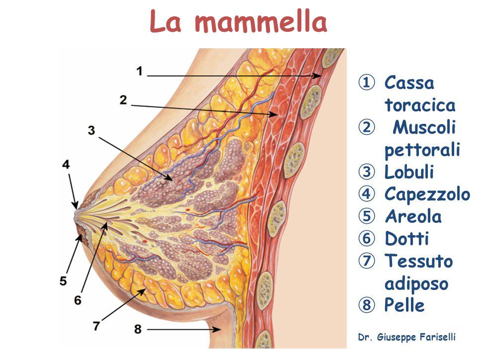La mammella Dr. Giuseppe Fariselli ① Cassa toracica ② Muscoli pettorali ③ Lobuli ④ Capezzolo ⑤ Areola ⑥ Dotti ⑦ Tessuto adiposo ⑧ Pelle