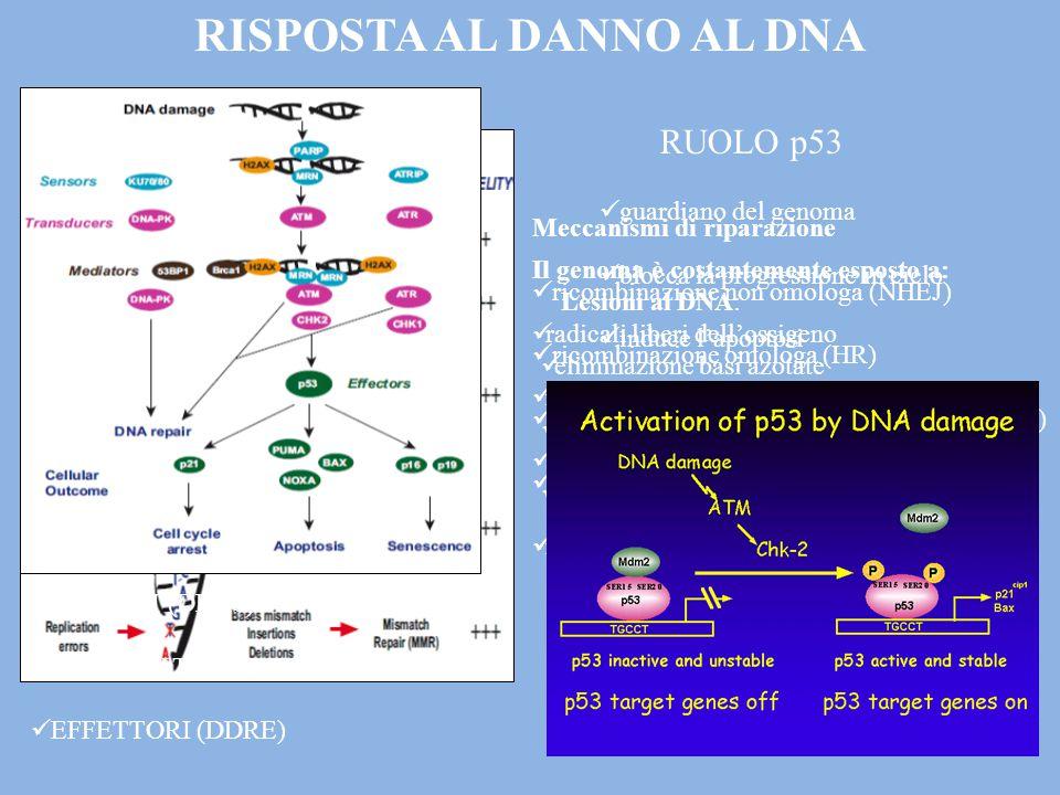Il genoma è costantemente esposto a: radicali liberi dell'ossigeno radiazioni solari sostanze chimiche genotossiche Lesioni al DNA: eliminazione basi azotate ossidazione basi di guanina e adenina rottura dello scheletro deossiribosio-fosfato Meccanismi di riparazione ricombinazione non omologa (NHEJ) ricombinazione omologa (HR) riparazione per escissione nucleotidica (NER) riparazione per escissione di basi (BER) mismatch repair (MMR) RUOLO p53 guardiano del genoma blocca la progressione in ciclo induce l'apoptosi RISPOSTA AL DANNO AL DNA SENSORI (DDRS) TRASDUTTORI (DDRT) EFFETTORI (DDRE)