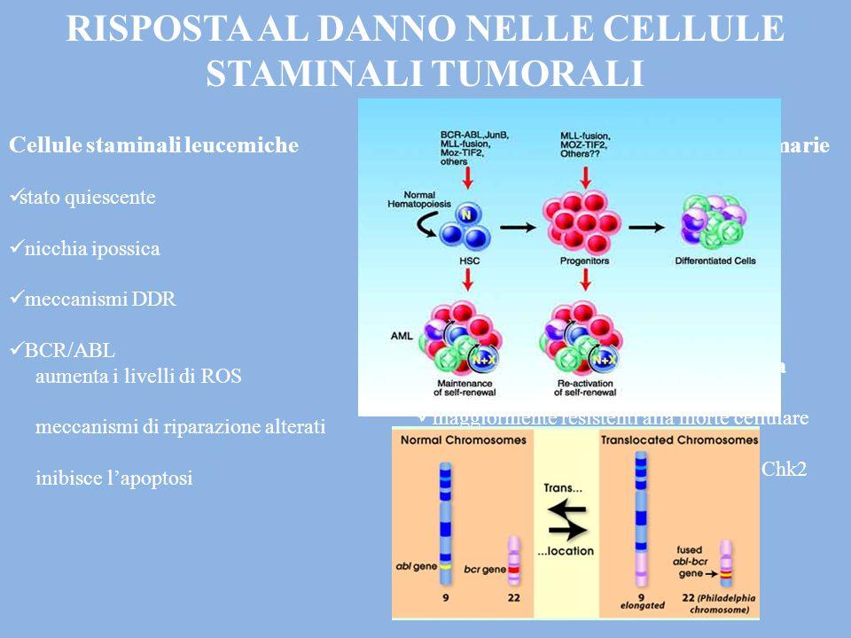 RISPOSTA AL DANNO NELLE CELLULE STAMINALI TUMORALI Cellule staminali leucemiche stato quiescente nicchia ipossica meccanismi DDR BCR/ABL aumenta i livelli di ROS meccanismi di riparazione alterati inibisce l'apoptosi Cellule staminali tumorali mammarie accelerata attività di riparazione segnalazione WNT Cellule staminali del Glioblastoma maggiormente resistenti alla morte cellulare maggiore attivazione di ATM, Chk1 e Chk2 efficace riparazione del DNA