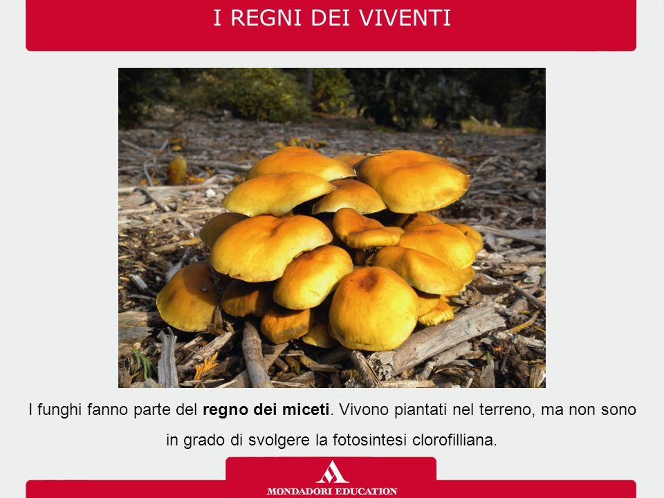 I REGNI DEI VIVENTI I funghi fanno parte del regno dei miceti.