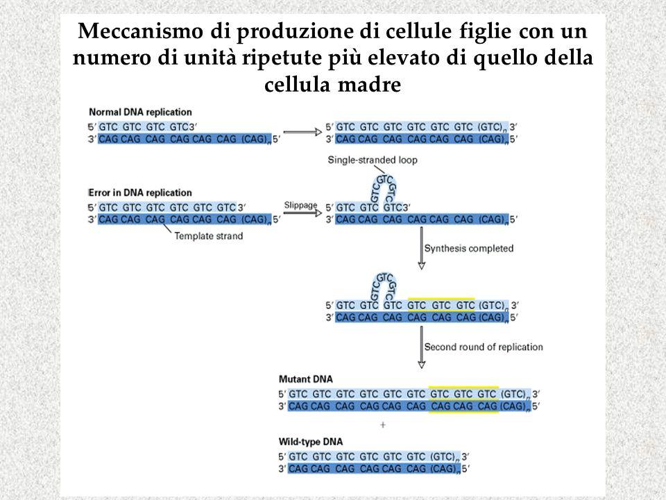 Meccanismo di produzione di cellule figlie con un numero di unità ripetute più elevato di quello della cellula madre