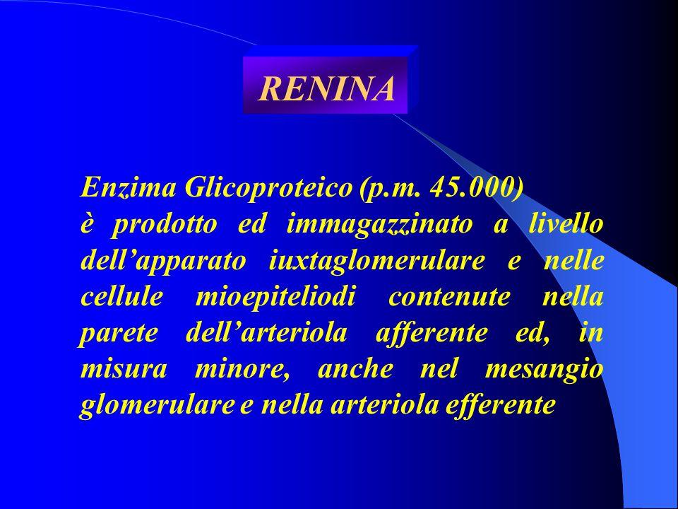 RENINA Enzima Glicoproteico (p.m. 45.000) è prodotto ed immagazzinato a livello dell'apparato iuxtaglomerulare e nelle cellule mioepiteliodi contenute