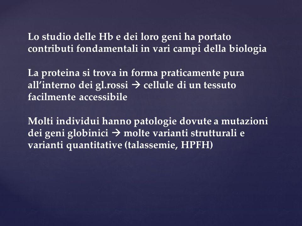 Lo studio delle Hb e dei loro geni ha portato contributi fondamentali in vari campi della biologia La proteina si trova in forma praticamente pura all