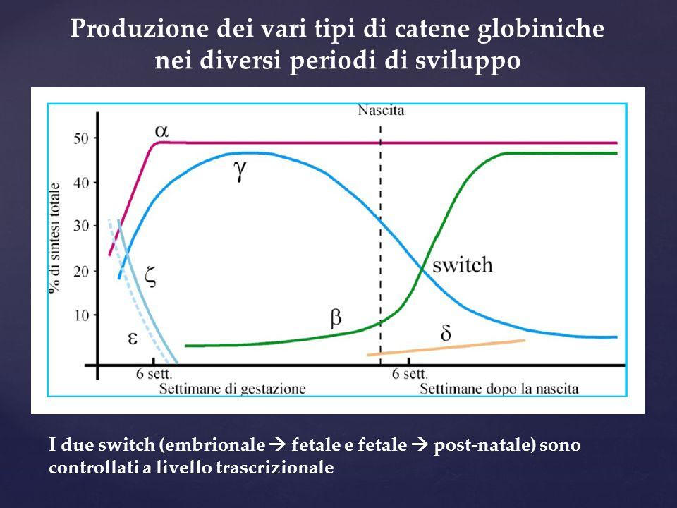 Produzione dei vari tipi di catene globiniche nei diversi periodi di sviluppo I due switch (embrionale  fetale e fetale  post-natale) sono controlla