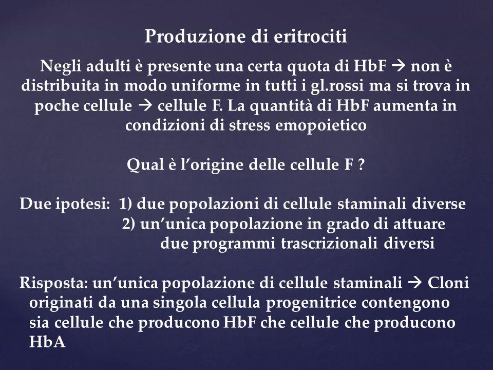 Produzione di eritrociti Negli adulti è presente una certa quota di HbF  non è distribuita in modo uniforme in tutti i gl.rossi ma si trova in poche
