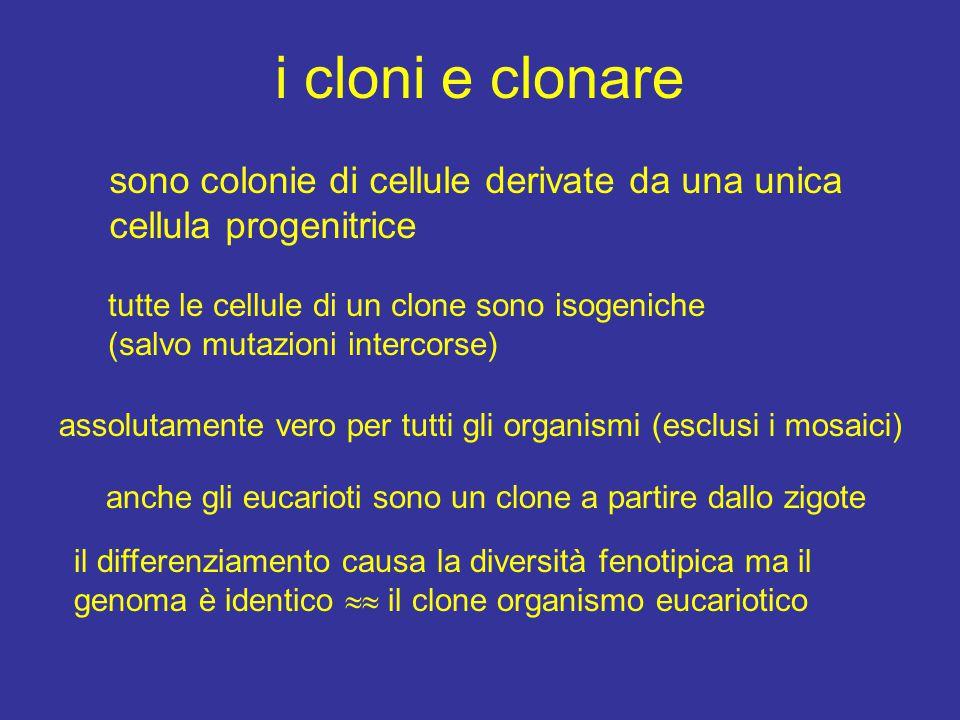 i cloni e clonare sono colonie di cellule derivate da una unica cellula progenitrice tutte le cellule di un clone sono isogeniche (salvo mutazioni int