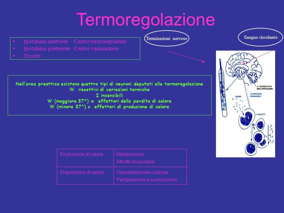 Termoregolazione Ipotalamo anteriore Centro termoregolatore Ipotalamo posteriore Centro vasomotorio Tiroide Produzione di calore Metabolismo Attività