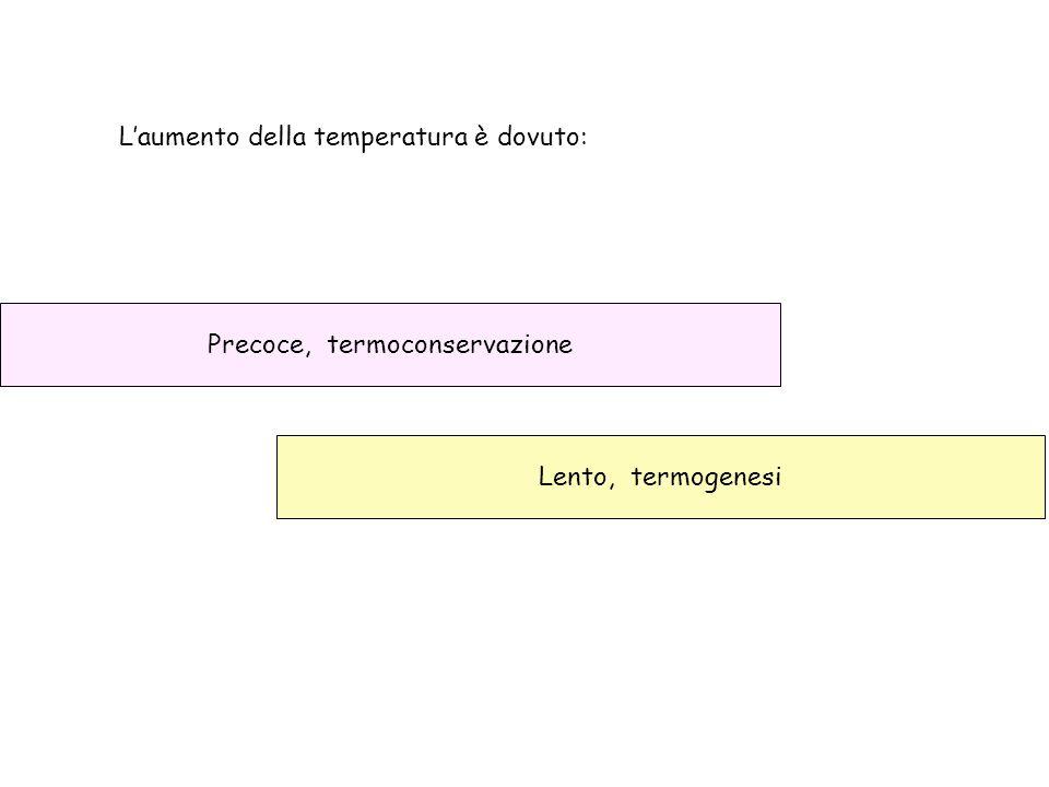 L'aumento della temperatura è dovuto: Precoce, termoconservazione Lento, termogenesi