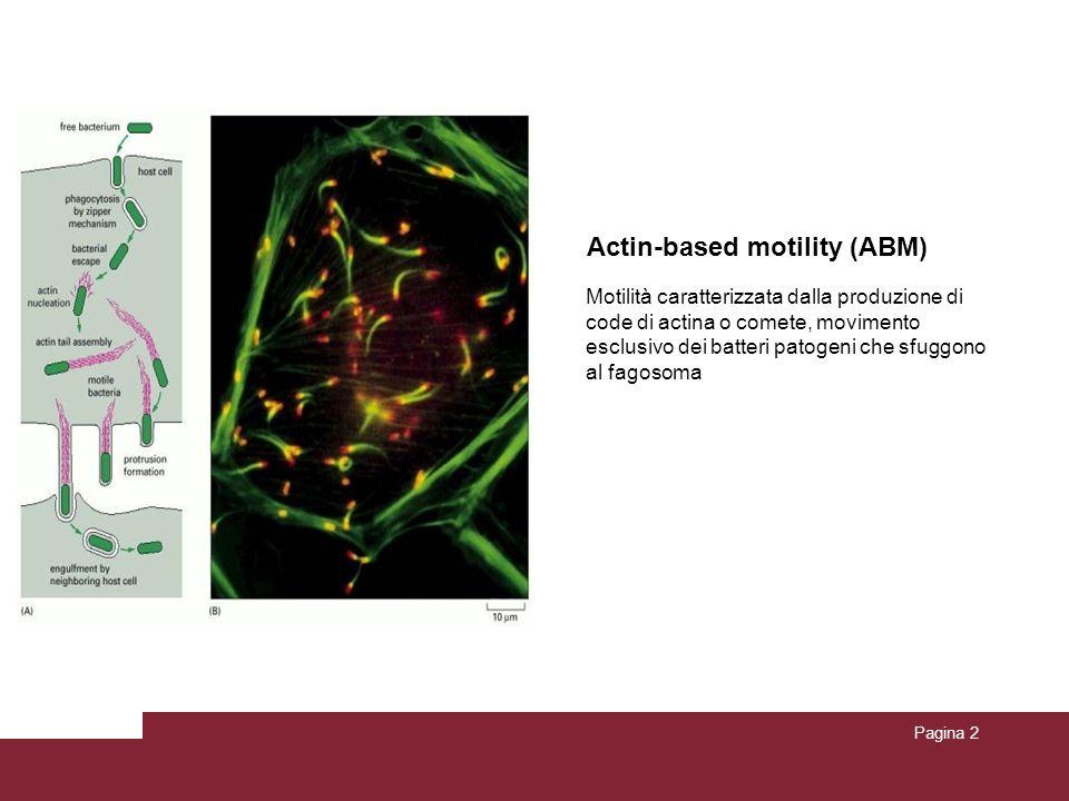 Pagina 2 Actin-based motility (ABM) Motilità caratterizzata dalla produzione di code di actina o comete, movimento esclusivo dei batteri patogeni che