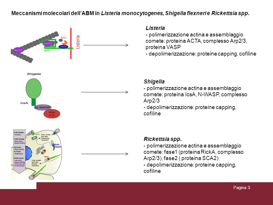 Meccanismi molecolari dell'ABM in Listeria monocytogenes, Shigella flexneri e Rickettsia spp. Pagina 3 Listeria - polimerizzazione actina e assemblagg
