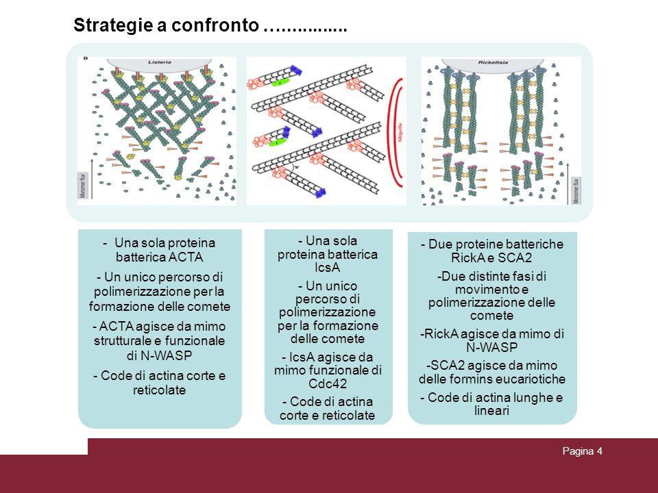 Pagina 4 - Una sola proteina batterica ACTA - Un unico percorso di polimerizzazione per la formazione delle comete - ACTA agisce da mimo strutturale e