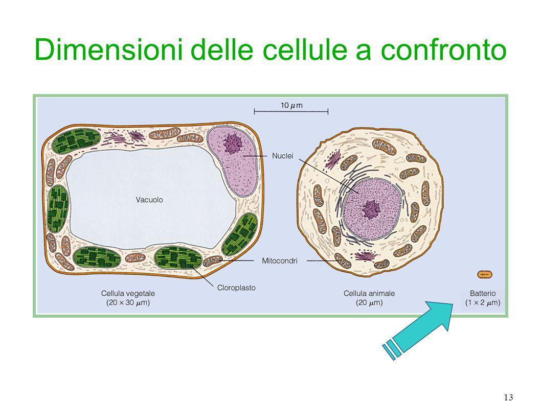 13 Dimensioni delle cellule a confronto