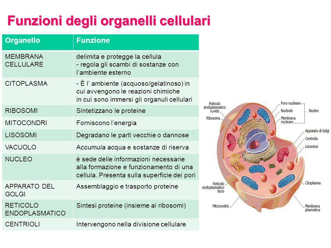 Funzioni degli organelli cellulari OrganelloFunzione MEMBRANA CELLULARE delimita e protegge la cellula - regola gli scambi di sostanze con l'ambiente