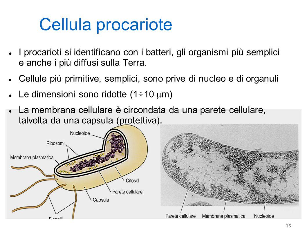 19 Cellula procariote I procarioti si identificano con i batteri, gli organismi più semplici e anche i più diffusi sulla Terra. Cellule più primitive,