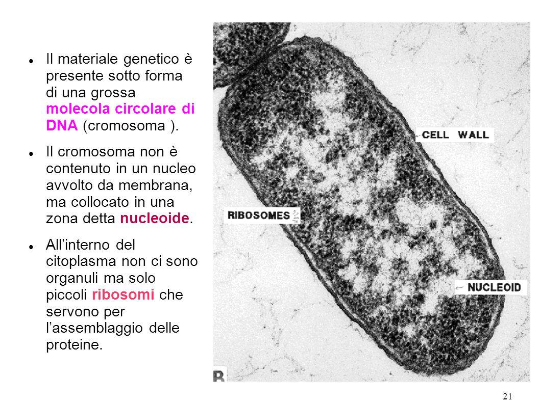 21 Il materiale genetico è presente sotto forma di una grossa molecola circolare di DNA (cromosoma ). Il cromosoma non è contenuto in un nucleo avvolt