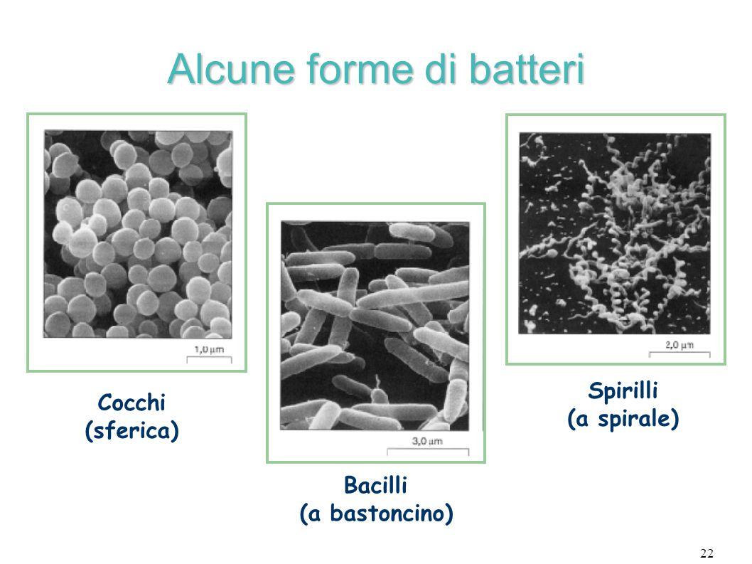 22 Alcune forme di batteri Cocchi (sferica)  Bacilli (a bastoncino)  Spirilli (a spirale) 