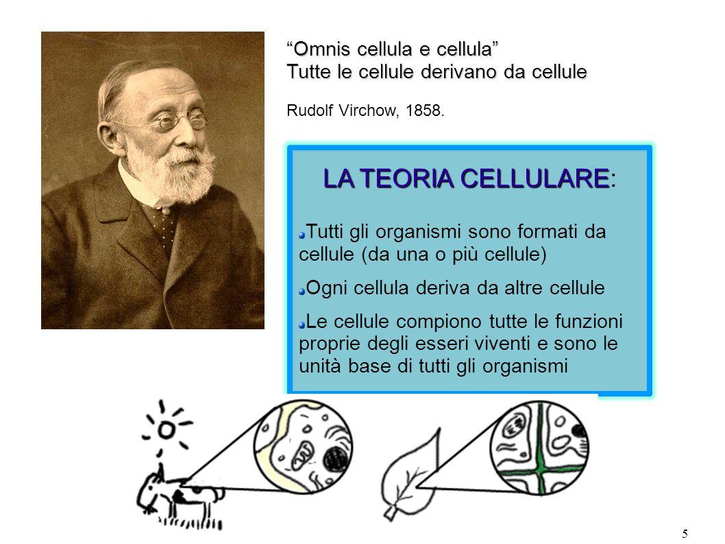 5 LA TEORIA CELLULARE LA TEORIA CELLULARE: Tutti gli organismi sono formati da cellule (da una o più cellule) Ogni cellula deriva da altre cellule Le