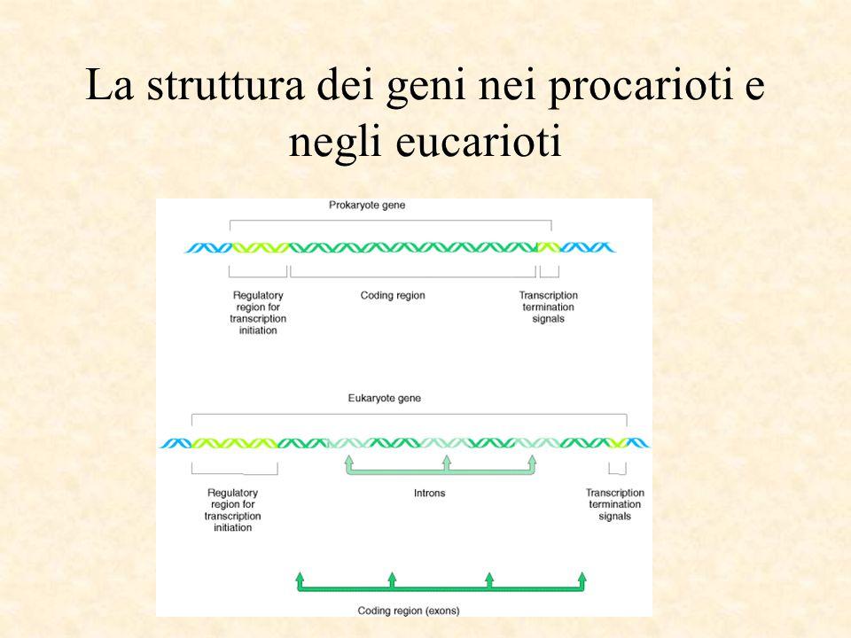 La struttura dei geni nei procarioti e negli eucarioti