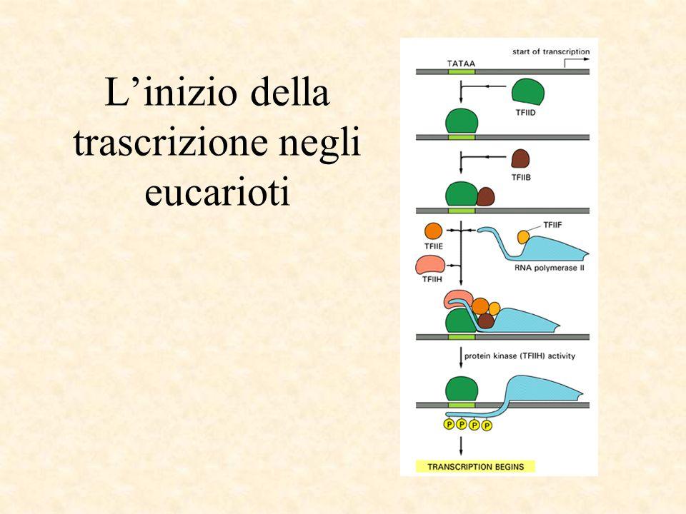L'inizio della trascrizione negli eucarioti