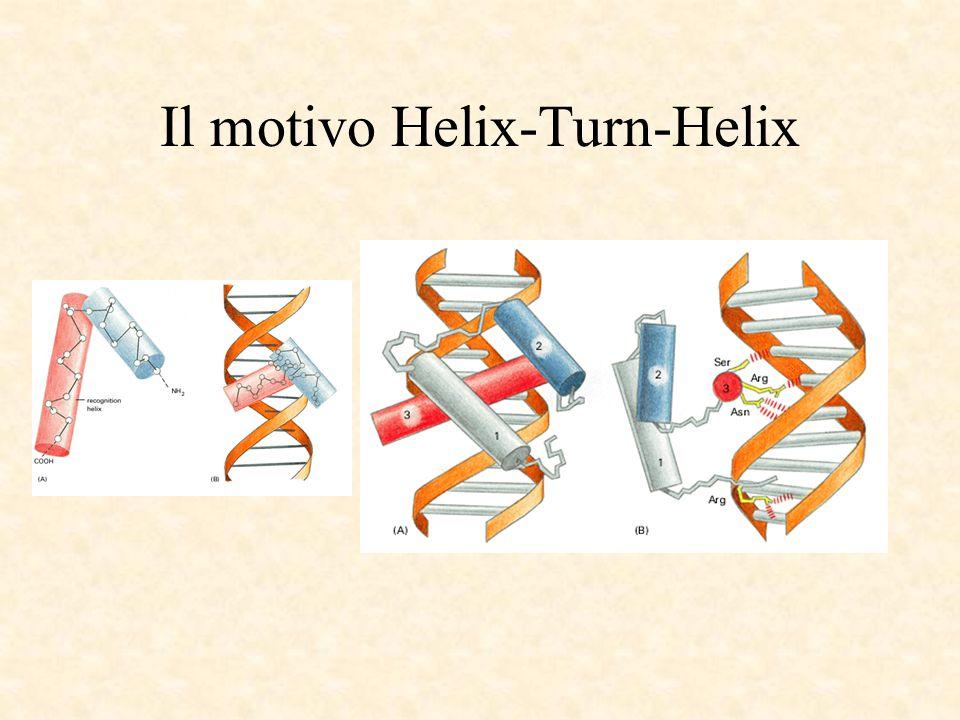 Il motivo Helix-Turn-Helix