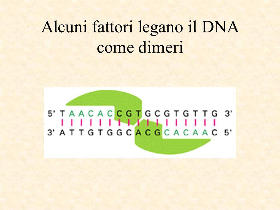 Alcuni fattori legano il DNA come dimeri