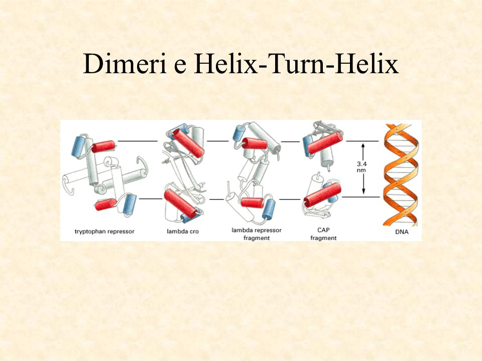 Dimeri e Helix-Turn-Helix