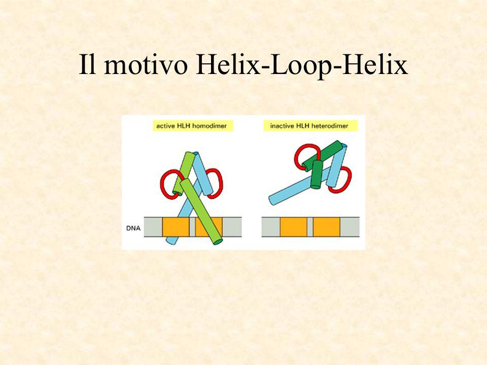 Il motivo Helix-Loop-Helix